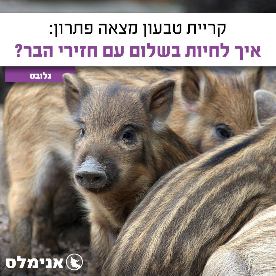 איך לחיות בשלום עם חזירי הבר?