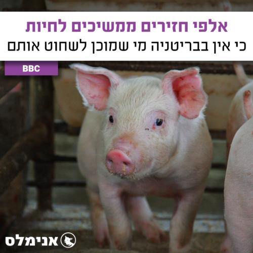 אלפי חזירים ממשיכים לחיות - כי אין בבריטניה מי שמוכן לשחוט אותם