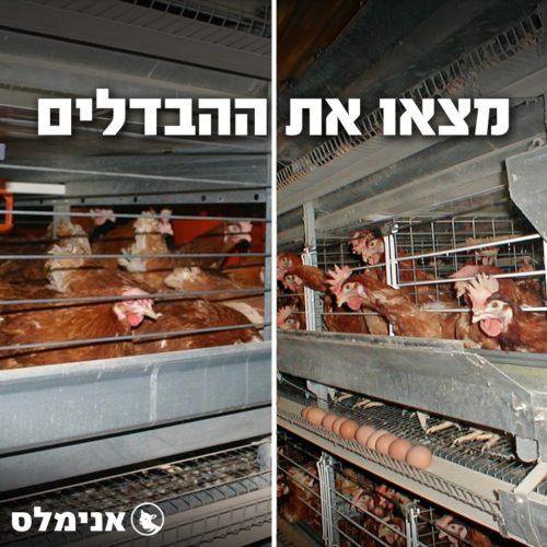 לולי תרנגולות בתעשיית הביצים