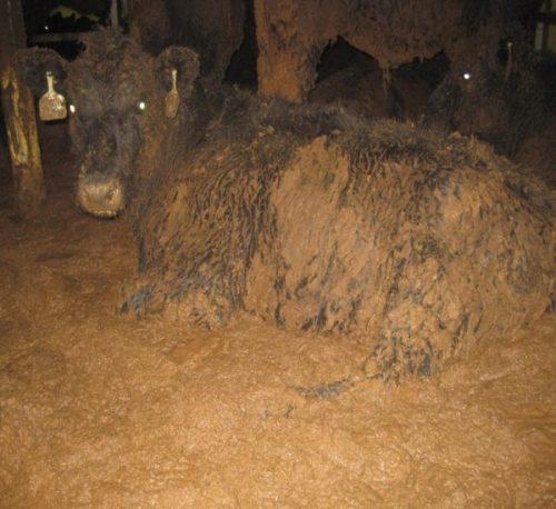 """צילום של פרה מתוך דוח של הוטרינרית ד""""ר לין סימפסון המשלוחים החיים"""