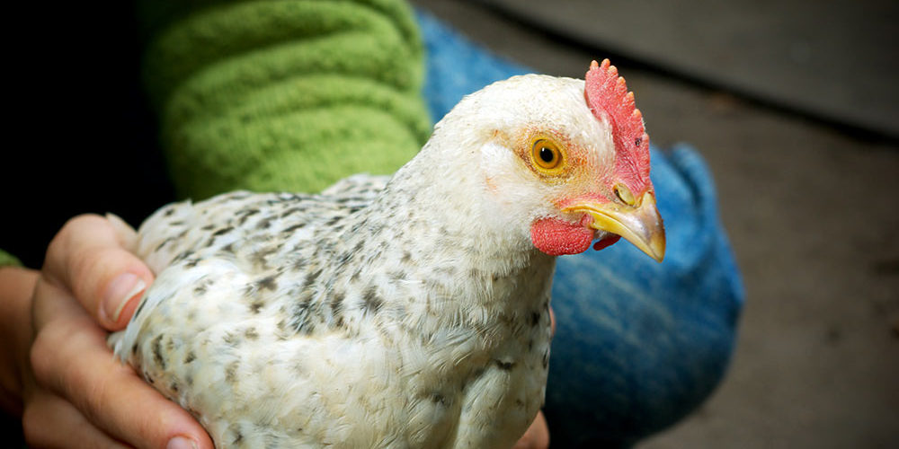 תרנגולת מתוקה