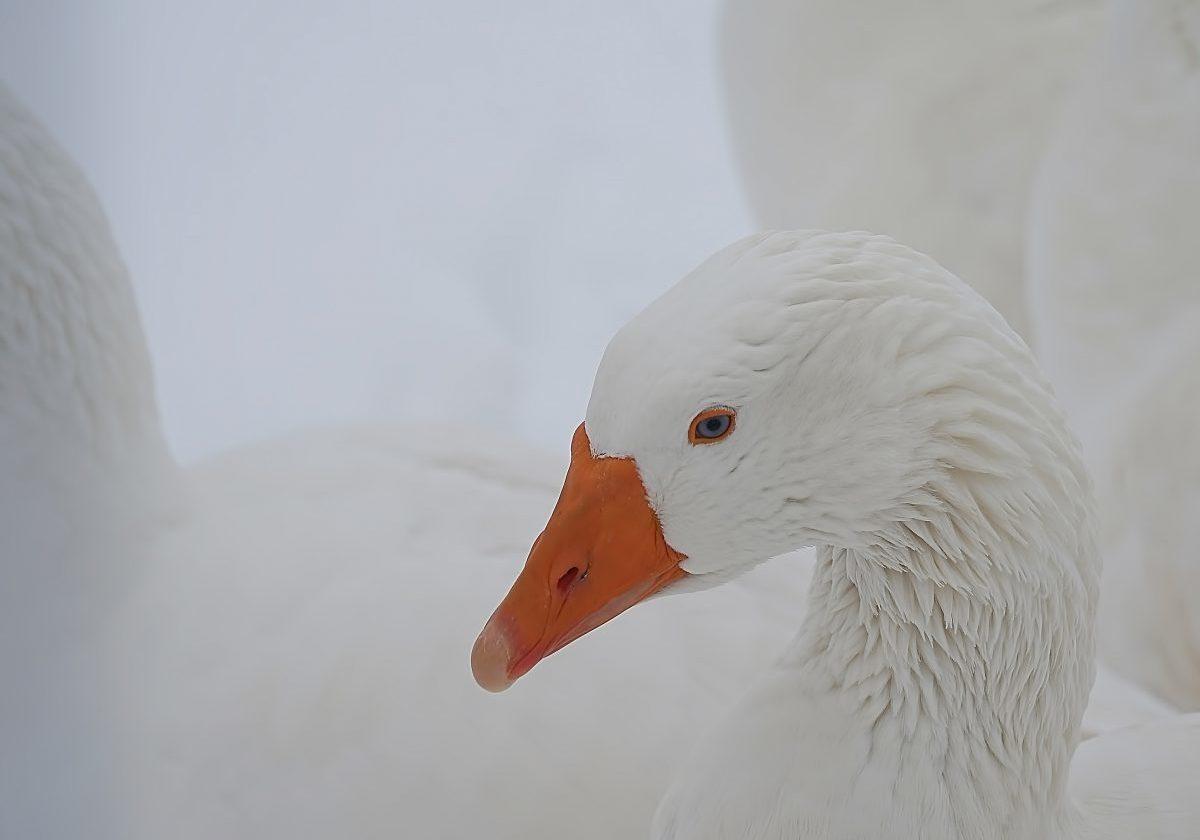 white-duck-on-white