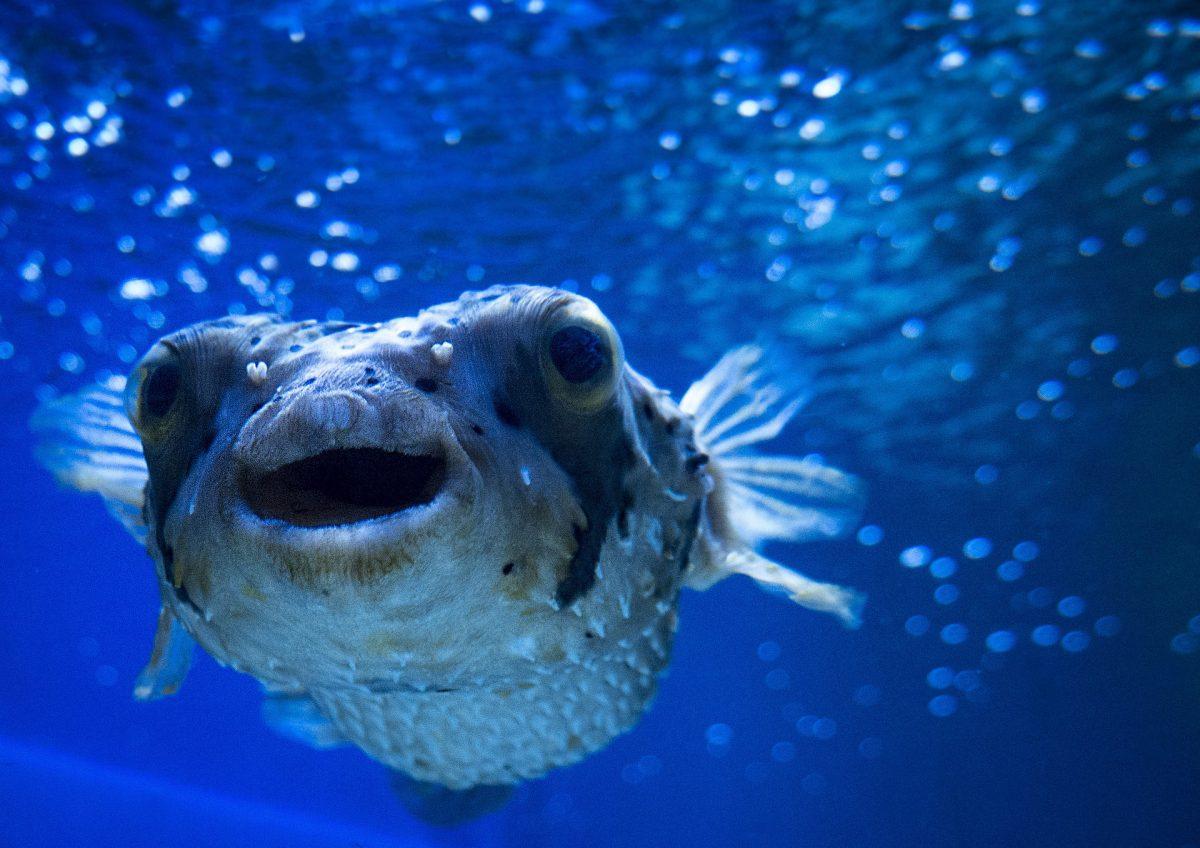 blowfish-2335648_1920