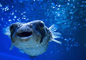 דג אבו נפחא