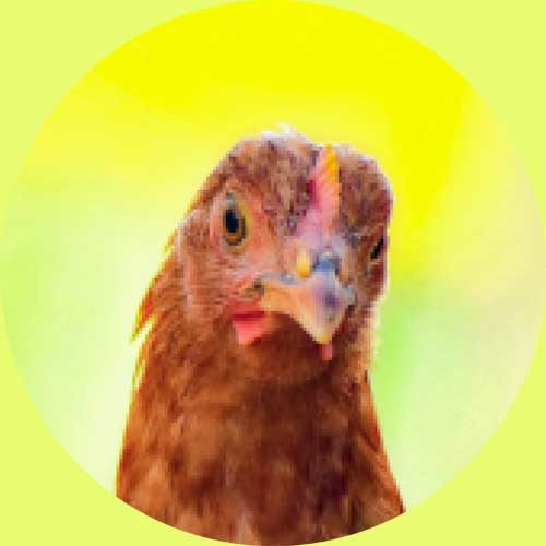 פתחנו מאבק לעצירת כליאת התרנגולים בתעשיית הבשר בכלובים