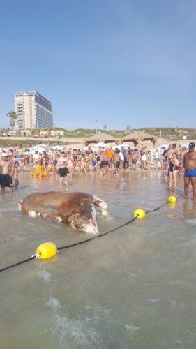 גופת עגל מהמשלוחים החיים בחוף הצוק בתל אביב צילום אור קרן