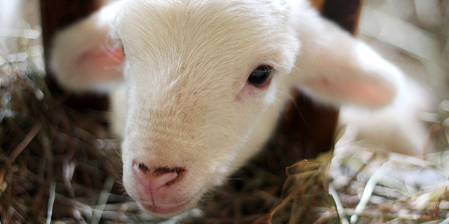 כבש קטן