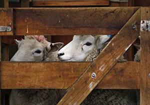 כבשים