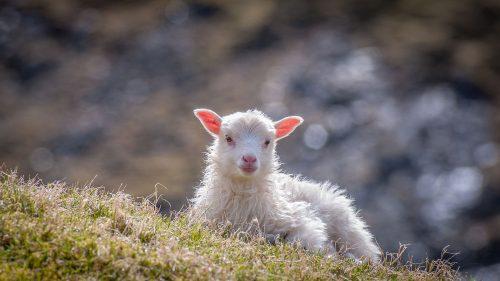 כבש חמוד
